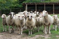Sheep herd. Standing on grass on farmland stock photo