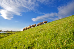 Sheep herd on summer pasture with many flowers Royalty Free Stock Photography