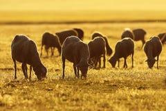 Sheep herd in sunrise orange light Royalty Free Stock Photography