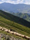 Sheep herd. On transhumance at mountain Stock Photography