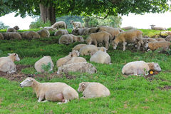 Sheep herd under a big chestnut tree Stock Images