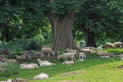 Sheep herd under chestnut trees Royalty Free Stock Photography