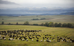 Sheep herd in valley Stock Photography