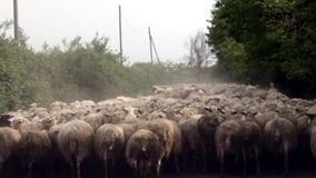 Sheep Herd stock video footage