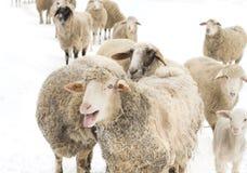 Sheep herd Stock Image