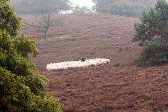 Sheep herder minding her flock royalty free stock photos