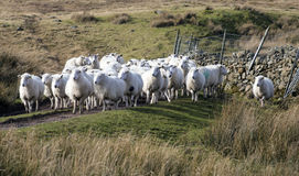 Sheep herding Royalty Free Stock Photo
