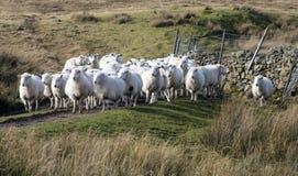 Sheep herding Royalty Free Stock Photo