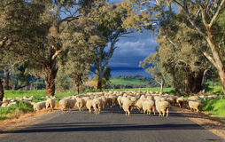 Sheep herding in country NSW Royalty Free Stock Photography
