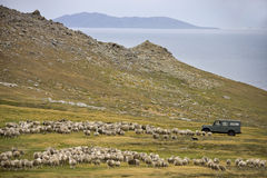Sheep herding - Falkland Islands. Sheep herding by vehicle on Carcass Island in West Falkland in the Falkland Islands royalty free stock photos