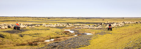 Sheep herding. Farmers are herding sheep at the end of summer in Southern Iceland royalty free stock image