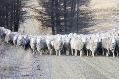 Sheep herding Royalty Free Stock Image