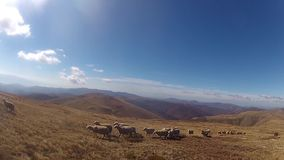 Sheep Herding - Stock Video. stock video footage