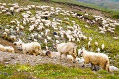 Sheep herds at alpine pastures Royalty Free Stock Photos