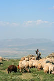 Sheep and herdsman. Sheep feeding on mountain on a sunny day and a herdsman Stock Image