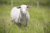 Sheep in high green grass meadow Stock Photos
