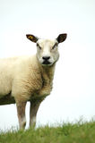 Sheep high up Hill Stock Image
