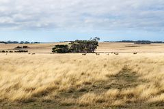 Sheep in high yellow grass in a field on Phillip Island, Victoria, Australia royalty free stock images