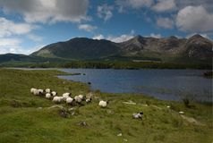 Sheep in the Highlands. Sheep in Connemara, Ireland, running through pasture Royalty Free Stock Photography