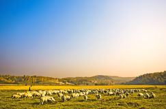 Sheep on the hill Stock Photography
