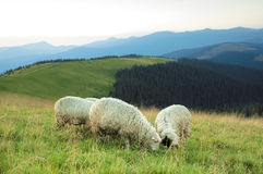 Sheep on a hill. Sheep grazed on a valley in mountains Stock Image