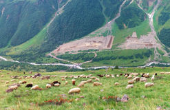 Sheep on hill Royalty Free Stock Image