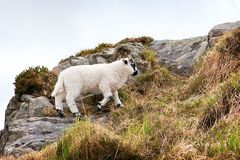 Sheep on a hill Royalty Free Stock Photography