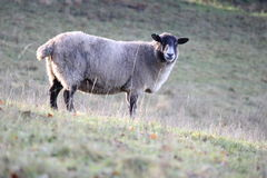 Sheep on a hill Royalty Free Stock Photos