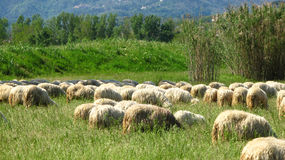 Sheep on a hill Royalty Free Stock Images