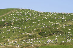 Sheep on a hill Stock Image