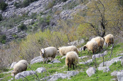Sheep in the hill Stock Images