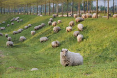 Sheep on a hill Royalty Free Stock Image
