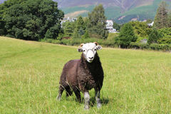 Sheep on Hill at Grassmere. Sheep Brown and White Wool Grass Stock Image