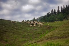 Sheep on hill Stock Image