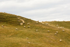 Sheep on a Hill in New Zealand. Sheep on a hill against a gloomy sky in Canterbury, New Zealand South Island Stock Image