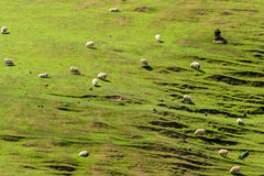 Sheep on a hill in New Zealand Stock Images