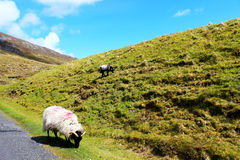 Sheep on the hill. Nice sunny day Royalty Free Stock Photo