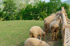 Sheep in the hill. Sheeps eating grass in wood wall royalty free stock images