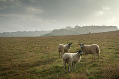 Sheep on a hill side Stock Image