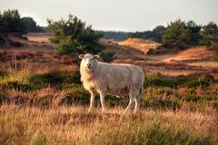 Sheep on hill in summer Royalty Free Stock Images