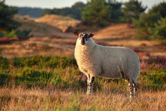 Sheep on hill in sunset sunlight Stock Photography