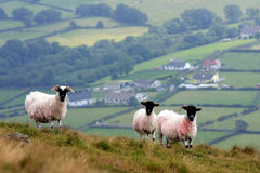 Sheep on the hills. In the Mourne Mountains, County Down, Northern Ireland stock photography