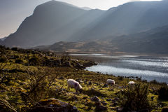 Sheep in Hills Gap of Dunloe Royalty Free Stock Images