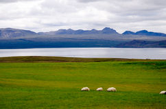 Sheep on the hills of Iceland Royalty Free Stock Photos