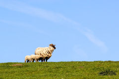 Sheep on a hillside Stock Photography