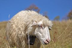 Sheep on a hillside. Royalty Free Stock Photo