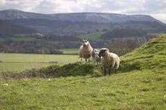 Sheep on hillside royalty free stock photography