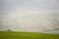 Sheep on a hillside Royalty Free Stock Photos