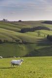 Sheep on Hillside,Shropshire, UK. Sheep on a hillside,Shropshire, UK on a sunny autumn day Stock Photo