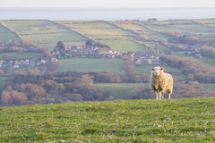 Sheep on hillside with village Stock Image